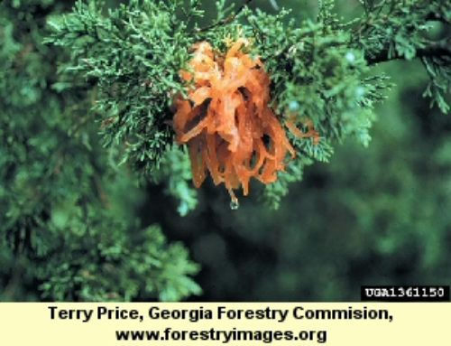 Cedar Apple Rust of Junipers & Redcedars