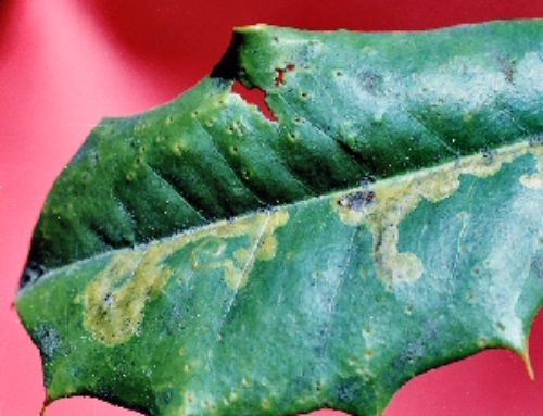 Holly Leafminer & Native Holly Leafminer