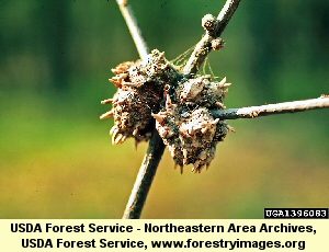 Horned Gall Wasp infestation on oak tree