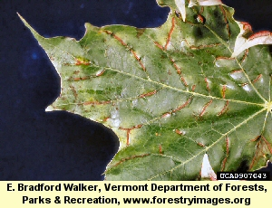 Maple Vein Midge