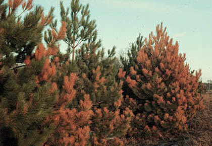 Damage caused to pine trees by salt spray and stor surge
