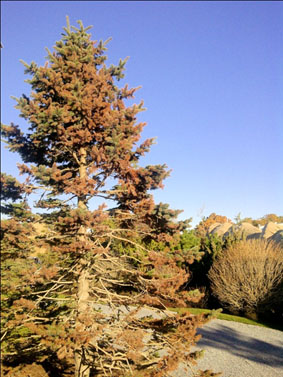 Salt Damaged Spruce Tree