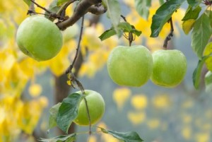Image credit: <a href='http://www.123rf.com/photo_12155118_autumn-apples-on-the-tree.html'>fotokostic / 123RF Stock Photo</a>
