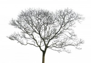 Image credit: <a href='http://www.123rf.com/photo_6659915_tree-without-leaves-isolated-in-white-background.html'>xjbxjhxm / 123RF Stock Photo</a>