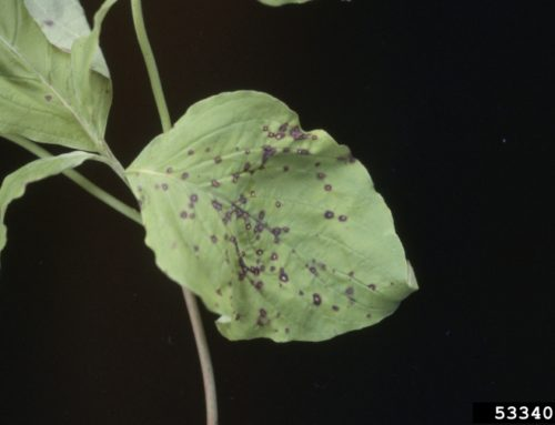 Dogwood Spot Anthracnose