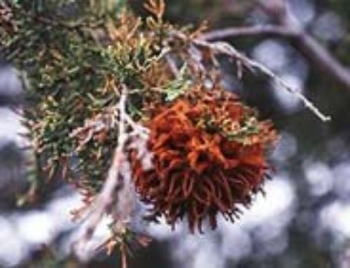 Cedar Hawthorn Rust of Junipers