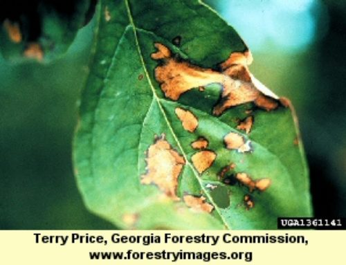 Dogwood Anthracnose