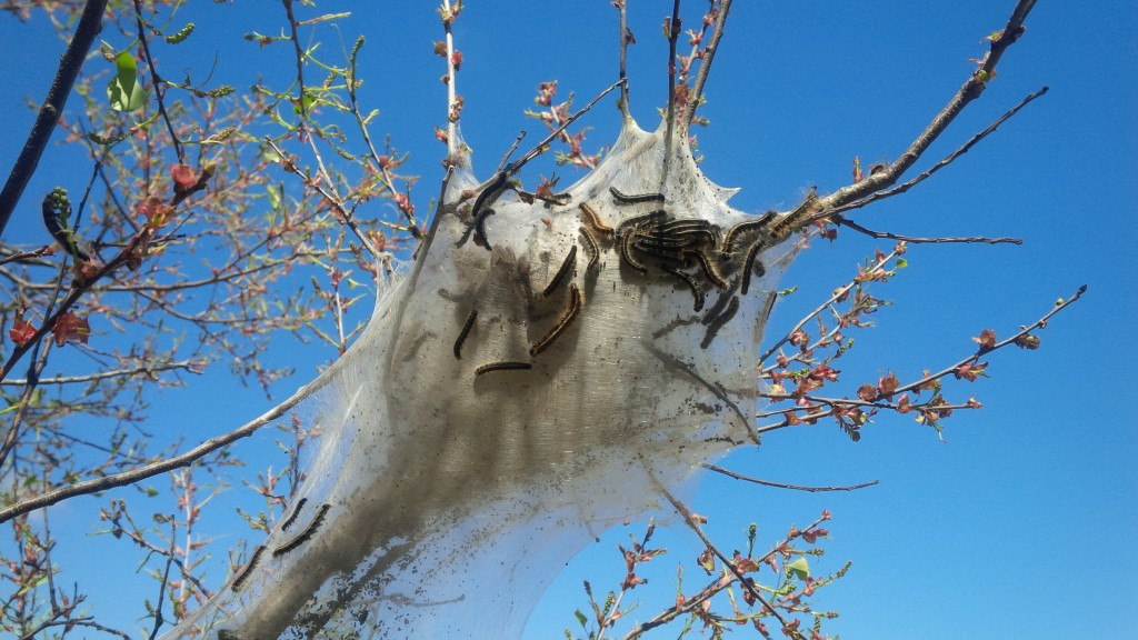 Eastern Tent Caterpillar nest - picture by Bart Fusco