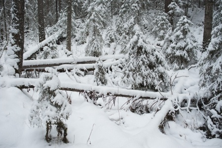 Snow toppled trees